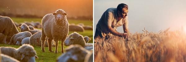 Bárány és búza